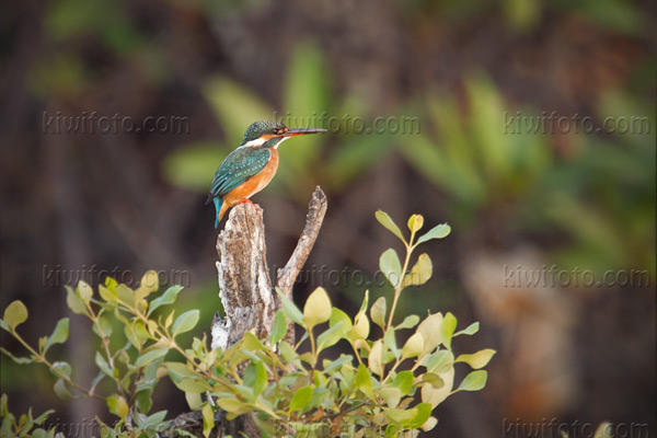 Common Kingfisher Photo @ Kiwifoto.com