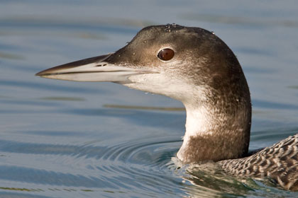 Common Loon Image @ Kiwifoto.com