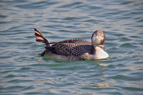 Common Loon Picture @ Kiwifoto.com
