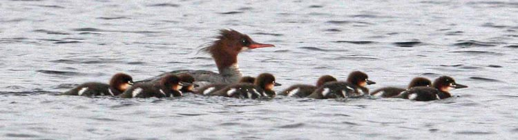 Common Merganser Photo @ Kiwifoto.com