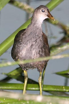 Common Moorhen Photo @ Kiwifoto.com