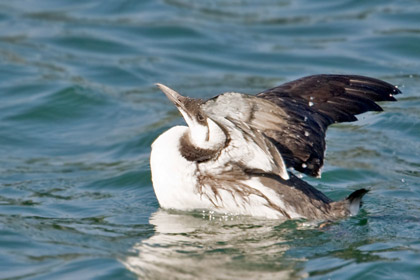 Common Murre Photo @ Kiwifoto.com