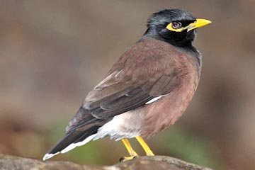 Common Myna Photo @ Kiwifoto.com