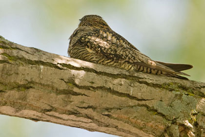 Common Nighthawk Image @ Kiwifoto.com