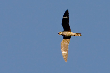 Common Nighthawk Picture @ Kiwifoto.com
