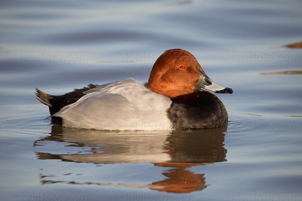 Common Pochard Photo @ Kiwifoto.com