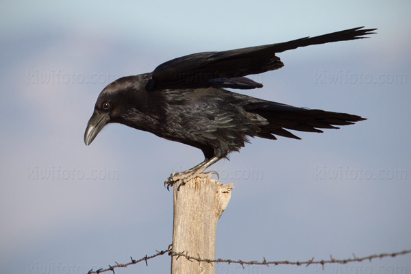 Common Raven Photo @ Kiwifoto.com