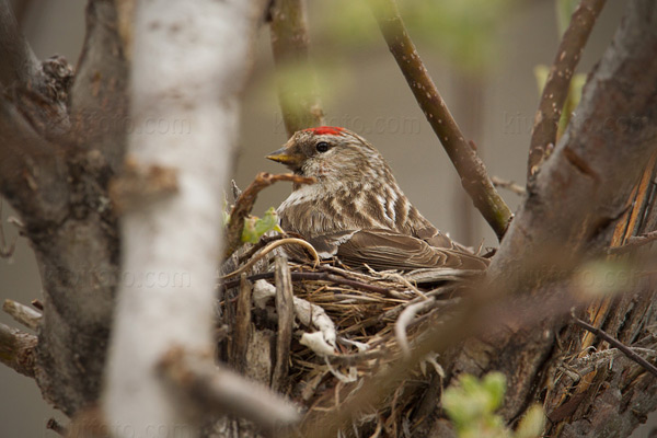 Common Redpoll Picture @ Kiwifoto.com