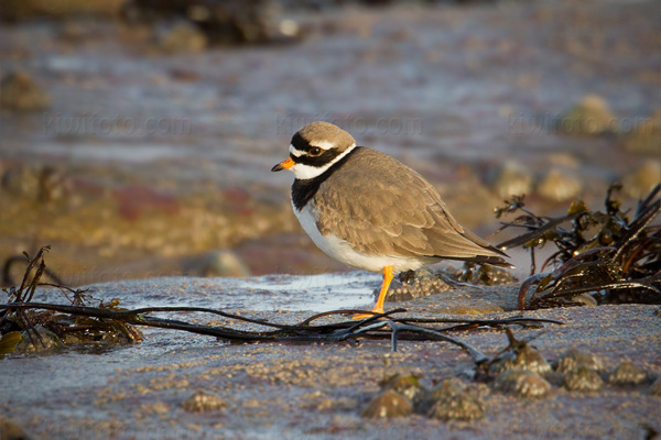 Common Ringed Plover Image @ Kiwifoto.com