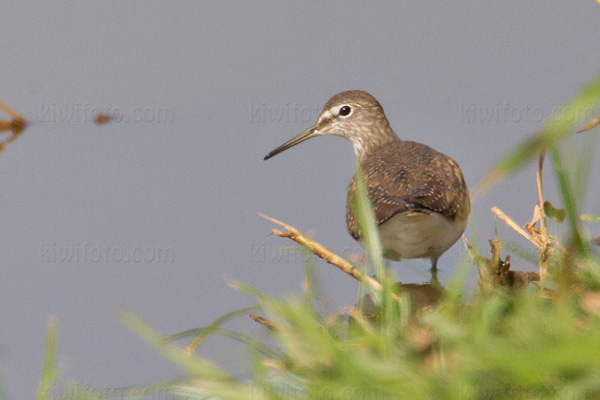 Common Sandpiper Photo @ Kiwifoto.com
