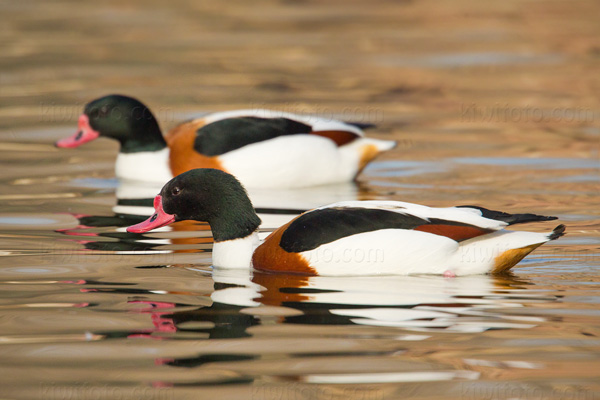 Common Shelduck Picture @ Kiwifoto.com