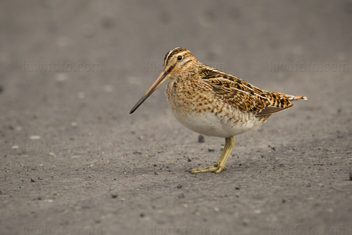 Common Snipe Picture @ Kiwifoto.com