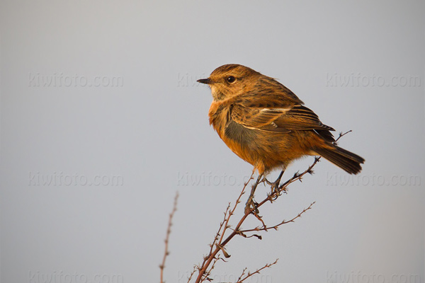 Common Stonechat Picture @ Kiwifoto.com
