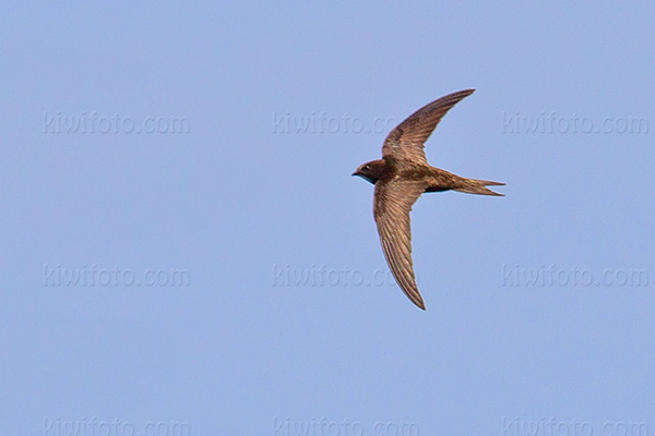 Common Swift Picture @ Kiwifoto.com