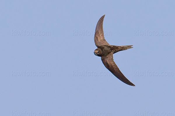 Common Swift Image @ Kiwifoto.com