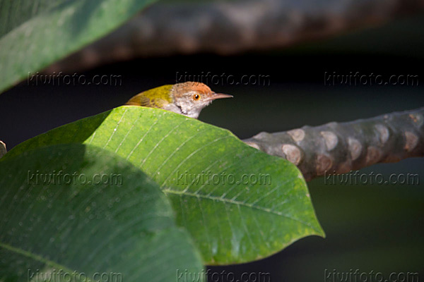 Common Tailorbird Photo @ Kiwifoto.com