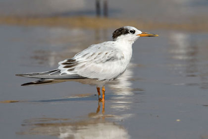 Common Tern Photo @ Kiwifoto.com