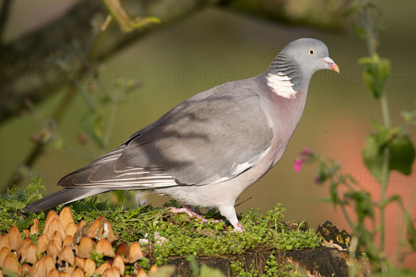 Common Wood-pigeon Picture @ Kiwifoto.com