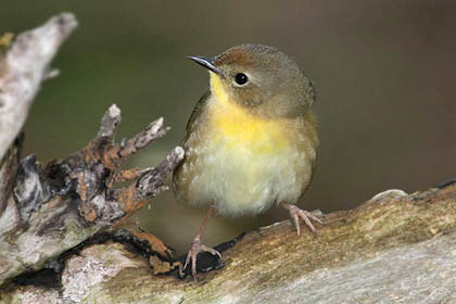 Common Yellowthroat Image @ Kiwifoto.com
