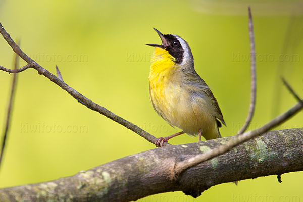 Common Yellowthroat @ Maumee Bay State Park, OH