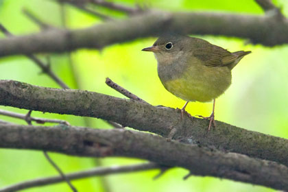 Connecticut Warbler Picture @ Kiwifoto.com
