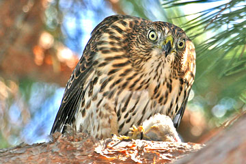 Cooper's Hawk Photo @ Kiwifoto.com