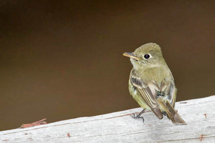 Cordilleran Flycatcher Photo @ Kiwifoto.com