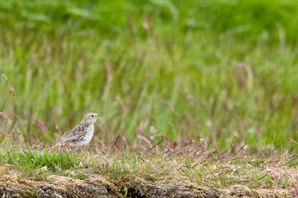 Correndera Pipit Photo @ Kiwifoto.com