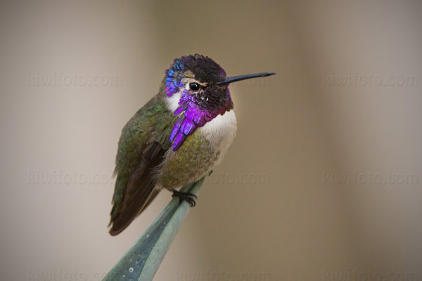 Costa's Hummingbird Photo @ Kiwifoto.com