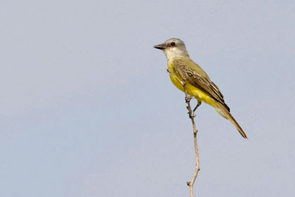 Couch's Kingbird Picture @ Kiwifoto.com