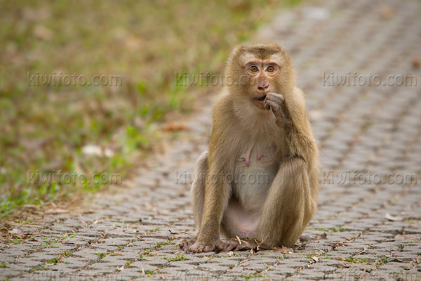 Crab Eating Macaque Image @ Kiwifoto.com