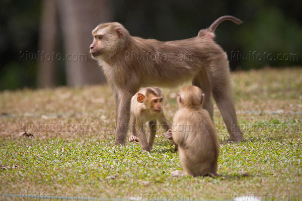 Crab Eating Macaque Photo @ Kiwifoto.com