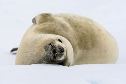 Crabeater Seal Picture @ Kiwifoto.com