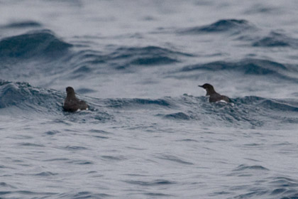 Craveri's Murrelet Photo @ Kiwifoto.com