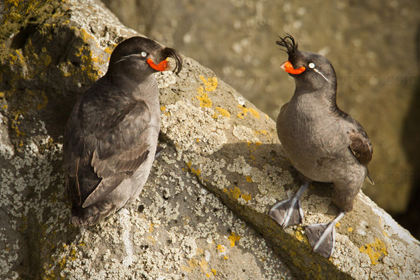 Crested Auklet Photo @ Kiwifoto.com