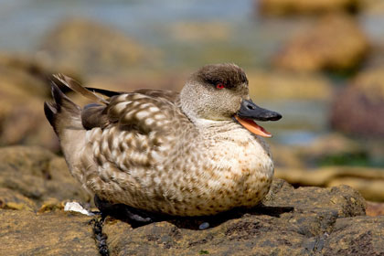 Crested Duck Picture @ Kiwifoto.com