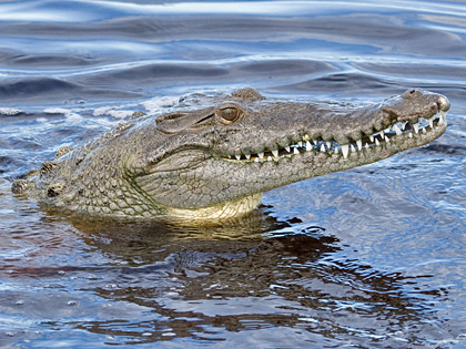 Crocodile Picture @ Kiwifoto.com