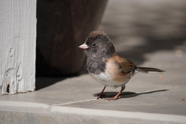Dark-eyed Junco Picture @ Kiwifoto.com
