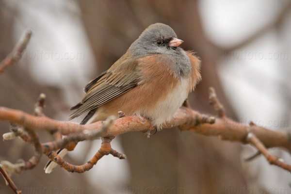 Dark-eyed Junco (Pink-sided)