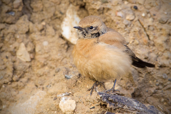 Desert Wheatear Photo @ Kiwifoto.com