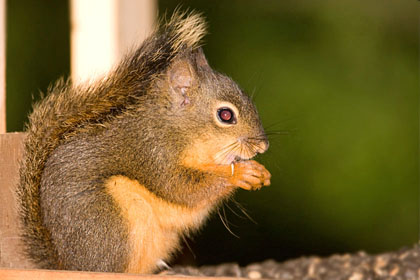 Douglas Squirrel Photo @ Kiwifoto.com