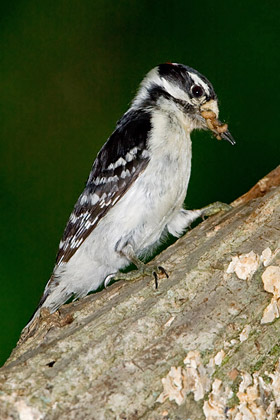 Downy Woodpecker Image @ Kiwifoto.com