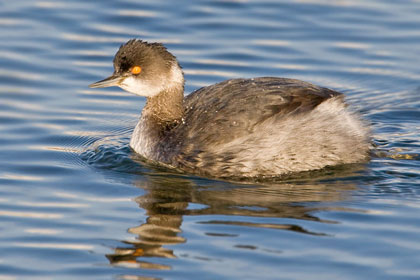 Eared Grebe Photo @ Kiwifoto.com