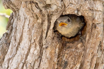 Eastern Bluebird (female in nest)