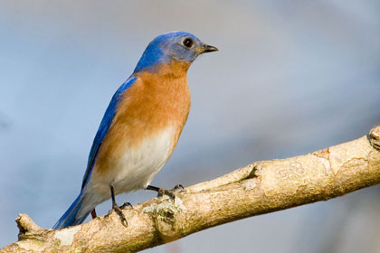 Eastern Bluebird Photo @ Kiwifoto.com