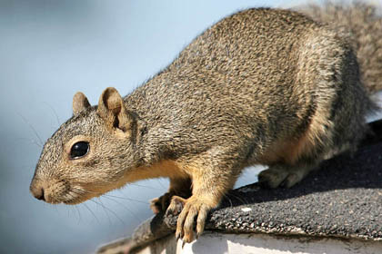Eastern Fox Squirrel Photo @ Kiwifoto.com