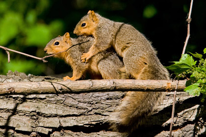 Eastern Fox Squirrel Picture @ Kiwifoto.com
