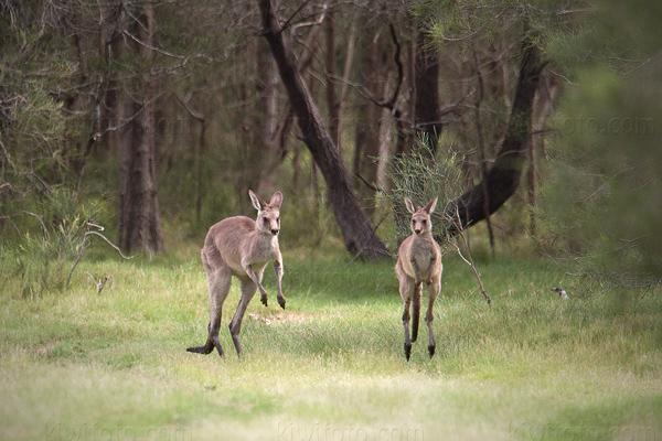 Eastern Grey Kangaroo @ Tinchi Tamba Wetlands, Queensland, Australia