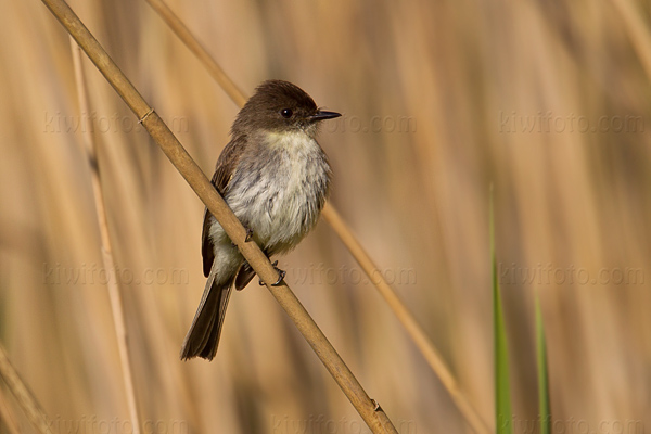 Eastern Phoebe @ Maumee Bay State Park, OH