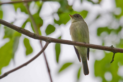 Eastern Wood-Pewee Picture @ Kiwifoto.com